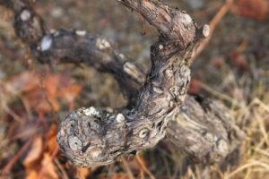 Kurs WSET Level 3 - krzew winorośli Douro