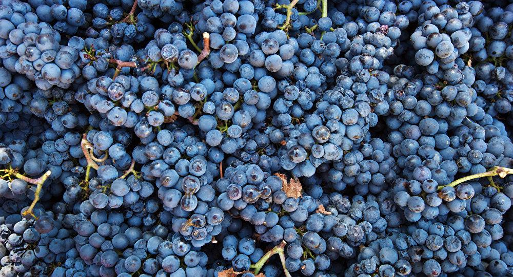 Degustacja wina - winogrona