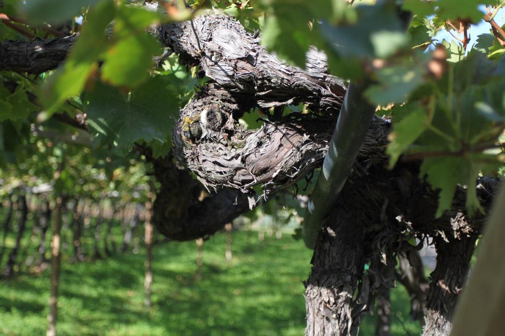 Kurs wprowadzajacy krzew winorosli