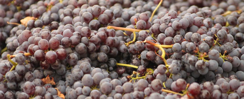 Kurs wprowadzający - kurs o winie - Polish Wine Academy - Nebbiolo