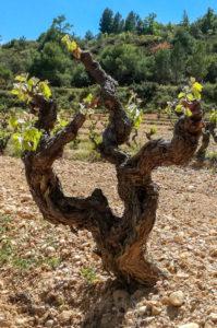 priorat - krzew winorośli